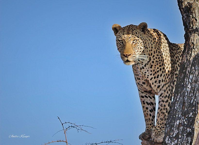 IMG_0213 leopard in tree