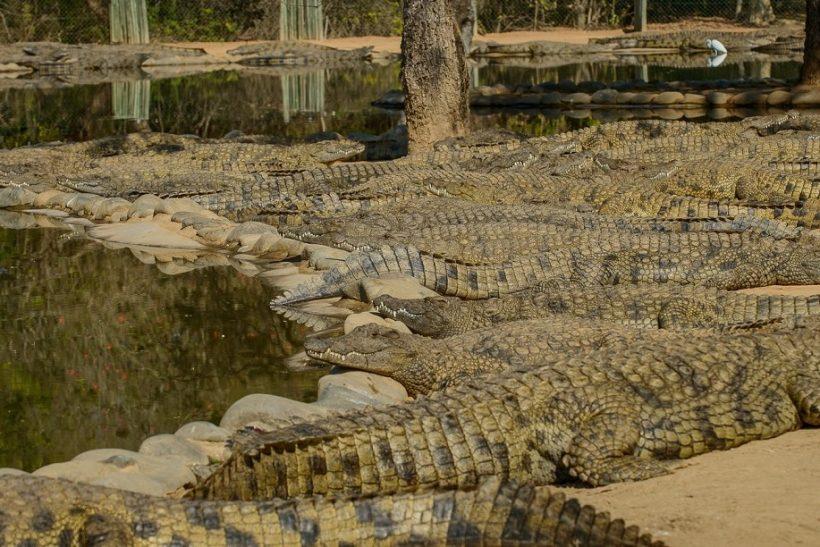 Seronera-Crocodile-farm-15