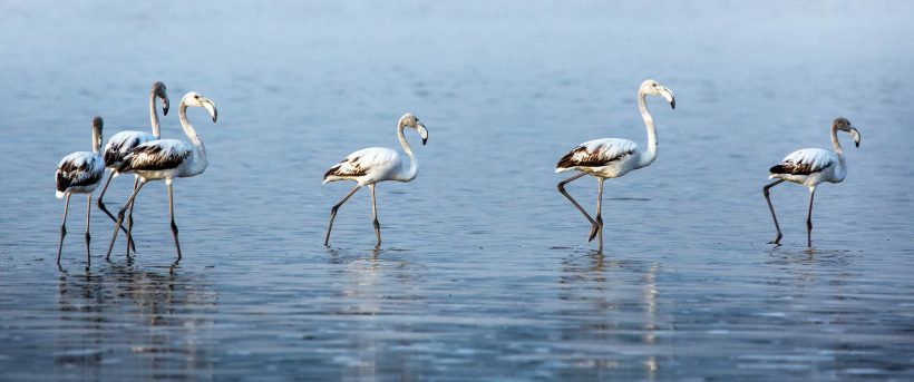 Greater-Flamingos