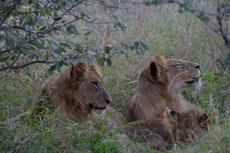 Masodini lions