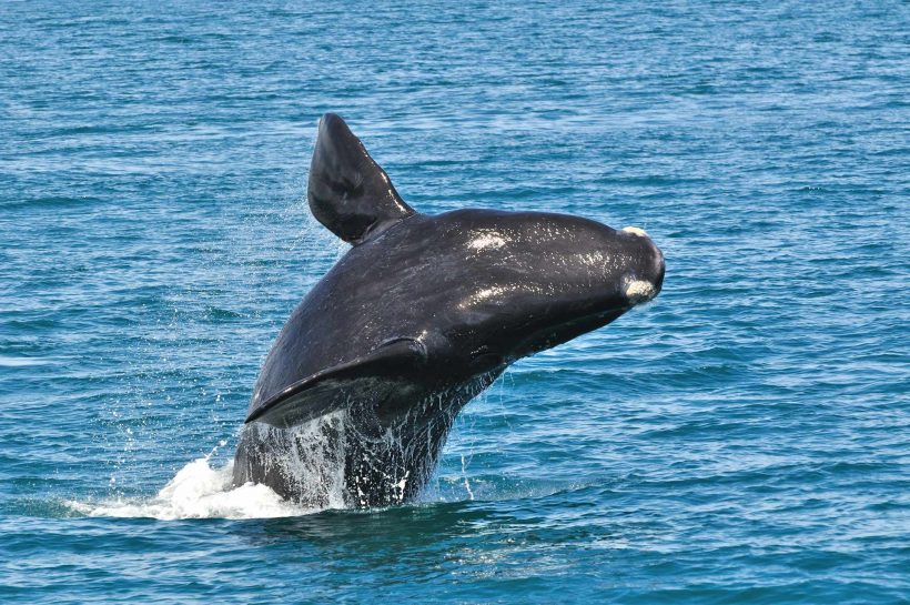 SOUTHERN-RIGHT-WHALES-shutterstock_196086887