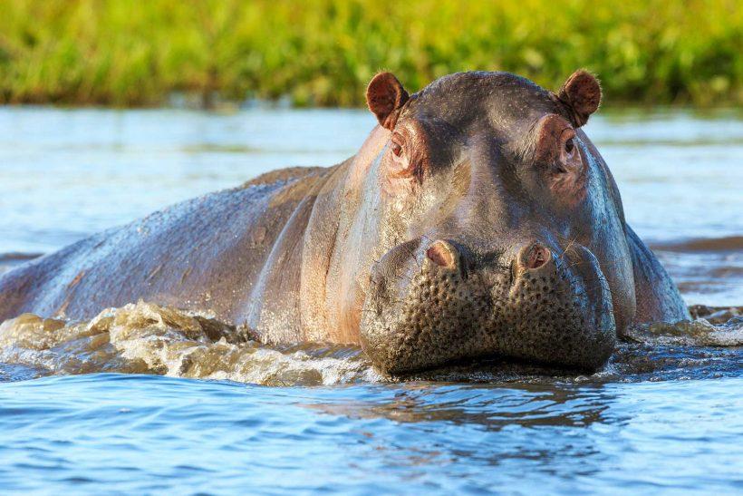 hippo_shutterstock_1098821045