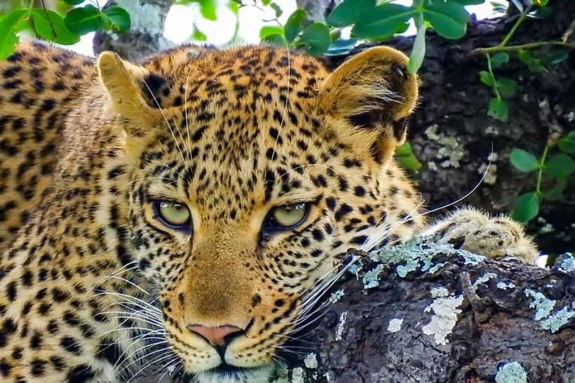 leopard_-_nathan
