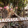 sausage-tree-4_copy